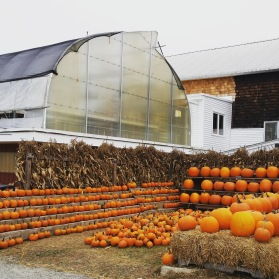 Pumpkins at Cider Hill Farm